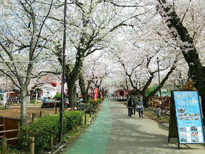 昼間の桜並木 御殿場高原ホテル