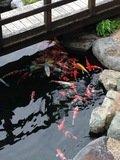 温泉で育つ鯉