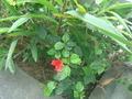 ハイビスカスが咲いていました