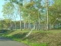 白樺並木が美しい