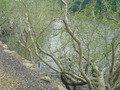 ハマボウの木