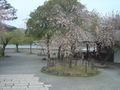 松風亭の前の桜