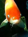 鯉がお出迎え。