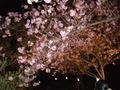 通り抜け桜