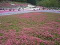写真クチコミ:芝桜