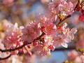 ホテル敷地内の河津桜