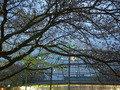 桜と飲食ドーム