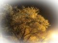 スワンレイク横の桜