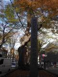 有名なケヤキ並木です。