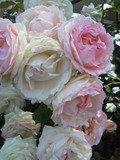 写真クチコミ:薔薇