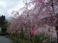 入り口の桜