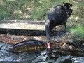 フェニックス自然動物園で鯉に餌を分けてあげる黒鳥
