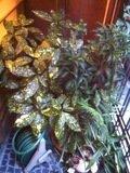 信楽焼のたぬきと観葉植物