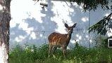 旅館前にきた鹿