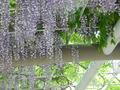 中島公園の藤の花