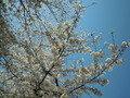 大阪城の桜は・・・