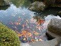 緋鯉の群れ
