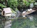 庭園のアヒル
