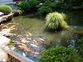 庭園の池には鯉がたくさんいます。