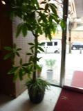 1階玄関の観葉植物