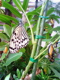 日本最大級の蝶「オオゴマダラ」の温室