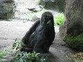 上野動物園のゴリラの檻