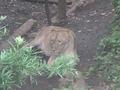 上野動物園のメスライオン