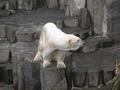 上野動物園のホッキョクグマ