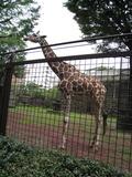上野動物園のキリン