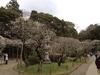 成田山公園うめまつり