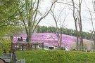 芝桜の模様
