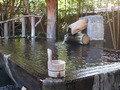 白壁荘の名物巨木風呂