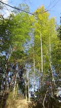 嵯峨沢館の「寝覚の湯」の木立(湯船からの風景)
