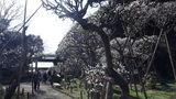 成田山公園の桜まつり