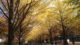 北海道大学の北13条門からのイチョウ並木