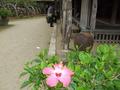 琉球村の施設内に咲くハイビスカス
