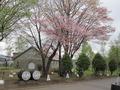 ウィスキーの樽と桜