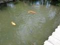 悠々と泳ぐ鯉☆