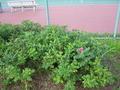 朝里ダムのテニスコートとハマナスの花
