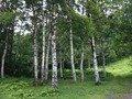 本館横の白樺の森