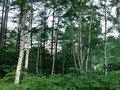 本館脇のしらかばの森