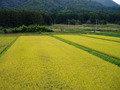 黄金色にかがやく田園風景