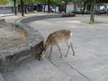 宮島には鹿もいました