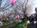岩倉桜まつり その1