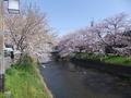 岩倉桜まつり その6