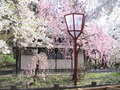 数種の桜がみだれ咲き