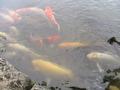 鯉がたくさん!
