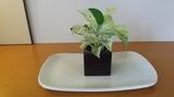 部屋の観葉植物です