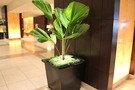 こちらは観葉植物ですが
