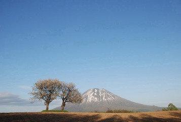 ロッヂTENから歩いて3分 さくらんぼの木と羊蹄山